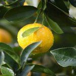 cómo se exporta el limón